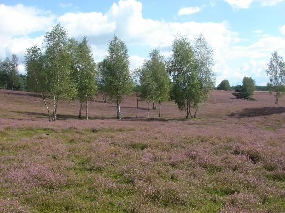 Die Heide blüht. Foto(s): Robin Patzwaldt