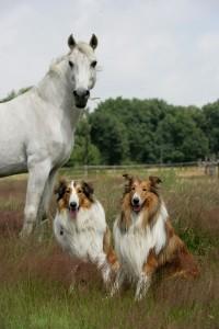 Hund_und_Pferd_Schimmel_Collies_gross