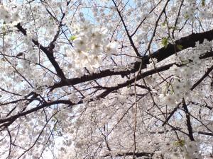 Cherry Blossoms in Shinjuku (Foto: privat)